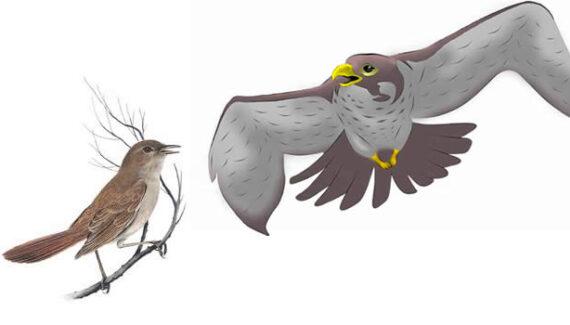 El halcón y el ruiseñor - Fábulas de Esopo