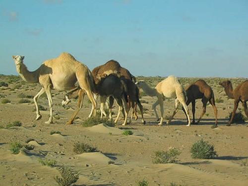 La pulga y el camello - fábulas de Esopo